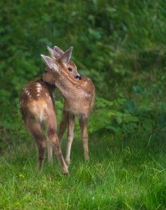 Due fratelli cerbiatti